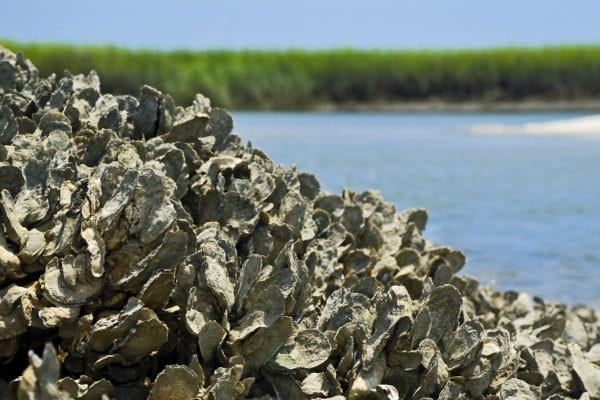 An oyster reef in the Baruch Marine Field Laboratory on the South Carolina coast. Jonathan Wilker, an associate professor of chemistry at Purdue, has shown that oysters produce a unique adhesive material to form these complex reefs. (Photo courtesy of Jonathan Wilker/Purdue University)